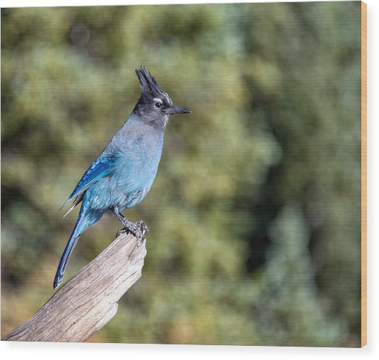 Wood Print featuring the photograph Stellers Jay by Rand