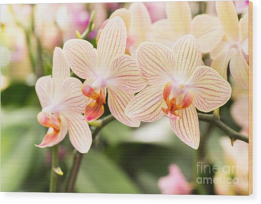 Streaked Orchid Flowers. Beautiful Wood Print