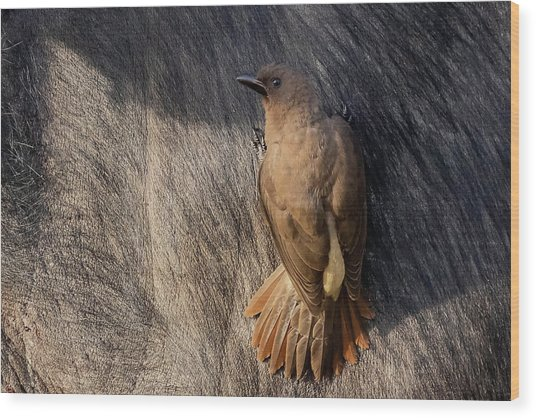 Sub-adult Yellow-billed Oxpecker On Cape Buffalo Wood Print