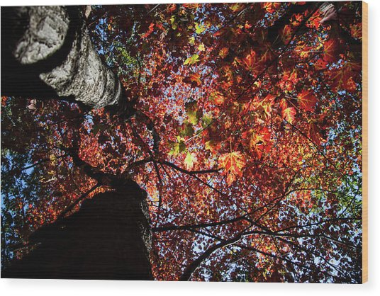 Sugar Maple In Fall Wood Print