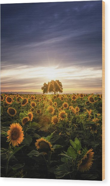 Sunflower Day Wood Print by Vincent James