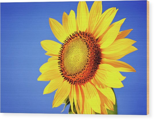 Sunflower Wood Print by Mbbirdy