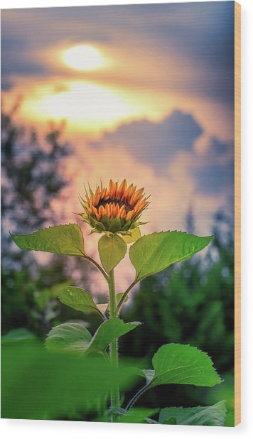 Sunflower Opening To The Light Wood Print