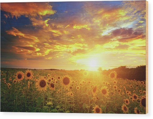 Sunflowers Field And Sunset Sky Wood Print by Avalon studio