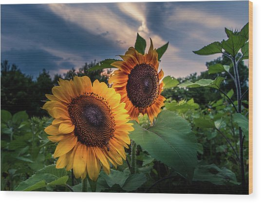 Sunflowers In Evening Wood Print
