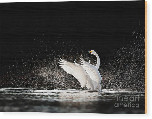 Swan Rising From Water And Splashing Wood Print