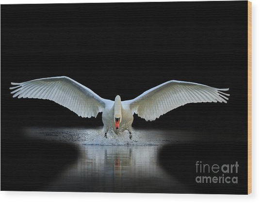 Swan With Open Wings, A Unique Moment Wood Print