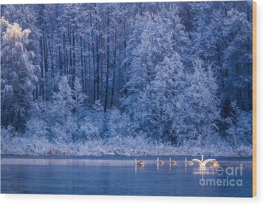Swans At Sunrise On Winter Lake Wood Print