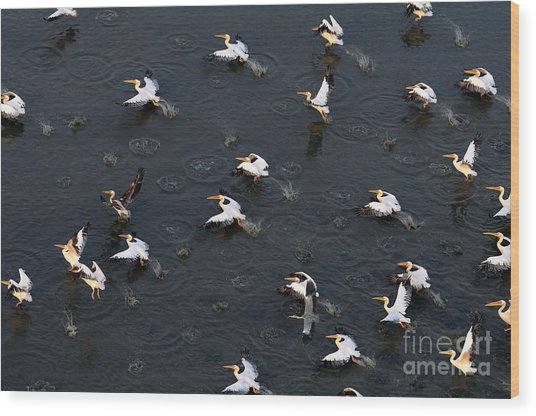 Synchronous Flight Of White Pelicans Wood Print