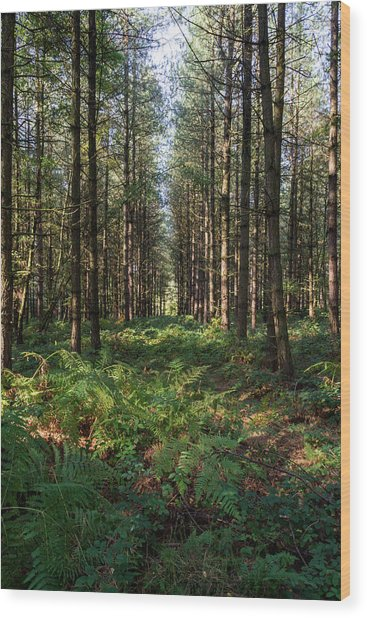 Tall Trees In Sherwood Forest Wood Print