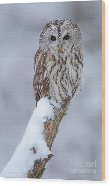 Tawny Owl Covered With Snow. Wildlife Wood Print