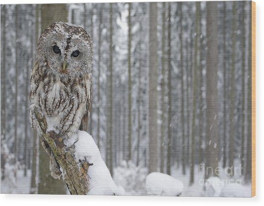 Tawny Owl In Snowfall During Winter Wood Print