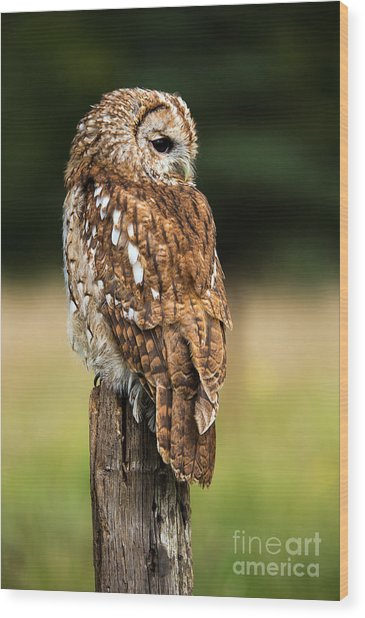 Tawny Owl On Fence Post Against A Dark Wood Print