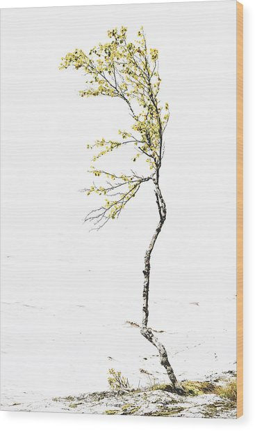 The Birch Tree Wood Print