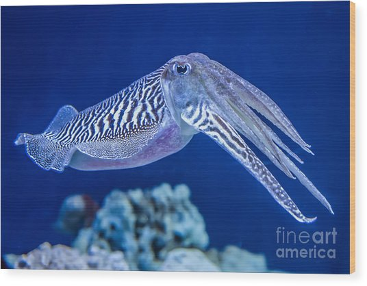 The Common European Cuttlefish Sepia Wood Print