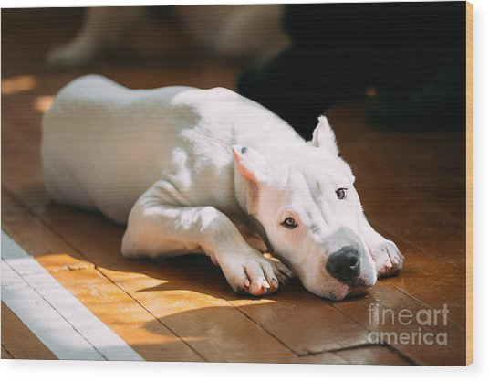 The Dogo Argentino Also Known As The Wood Print by Grisha Bruev