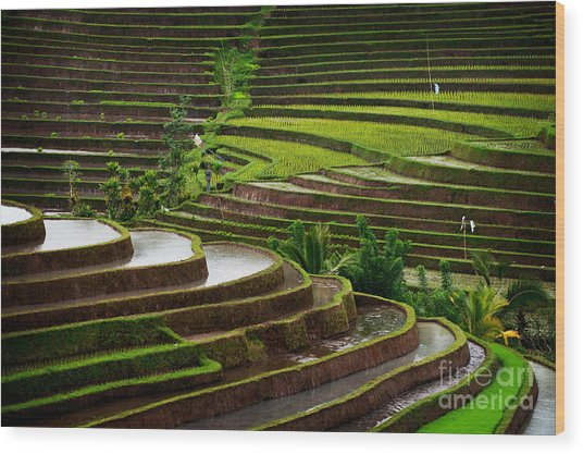 The Dramatic And Graphic Rice Terraces Wood Print