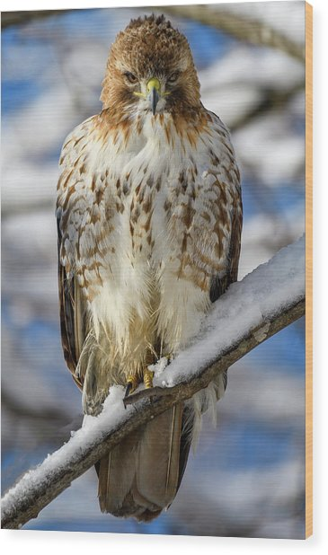 The Look, Red Tailed Hawk 1 Wood Print