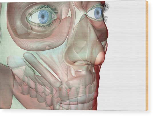 The Musculoskeleton Of The Face Wood Print by Medicalrf.com