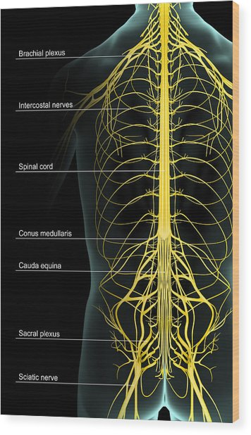 The Nerve Supply Of The Trunk Wood Print by Medicalrf.com