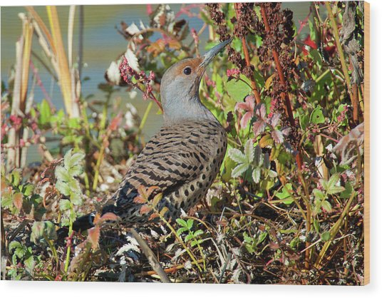 The Northern Flicker Is A Medium-sized Wood Print