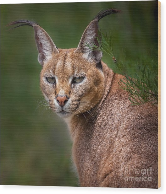 The Portrait Of Caracal Snarling Wood Print