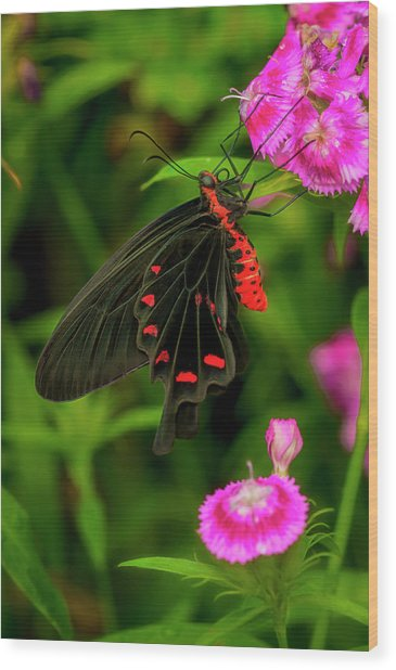 The Semperi Swallowtail Butterfly Wood Print