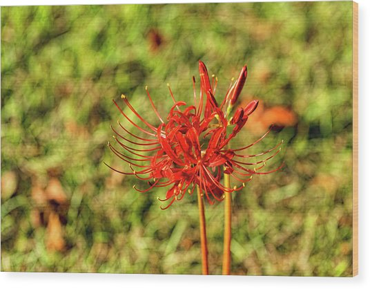 The Spider Lily Wood Print