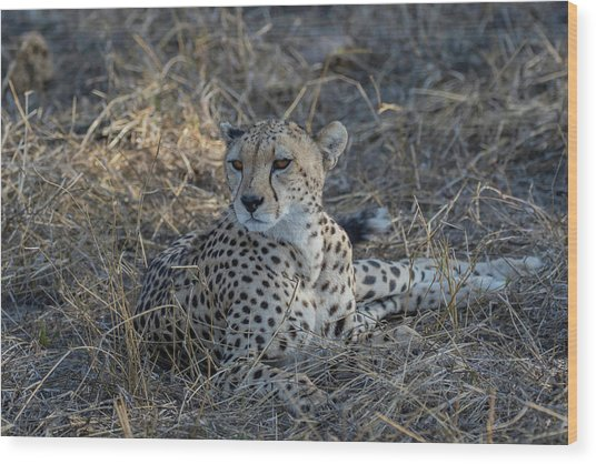 Cheetah In Repose Wood Print