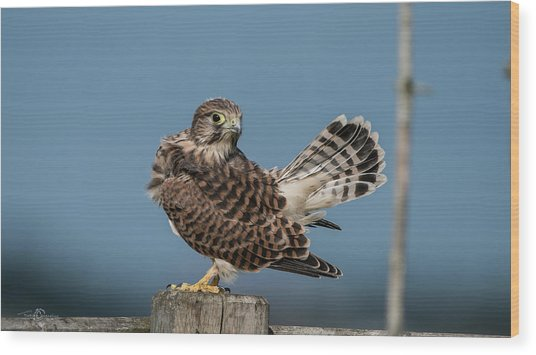The Young Kestrel's Tail In The Air Wood Print