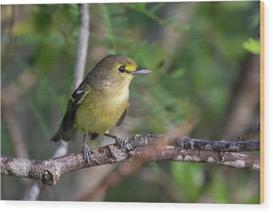 Thick-billed Vireo Wood Print