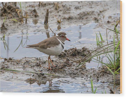 Three-banded Plover Wood Print