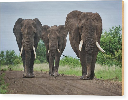 Three Big Elephants On A Dirt Road Wood Print