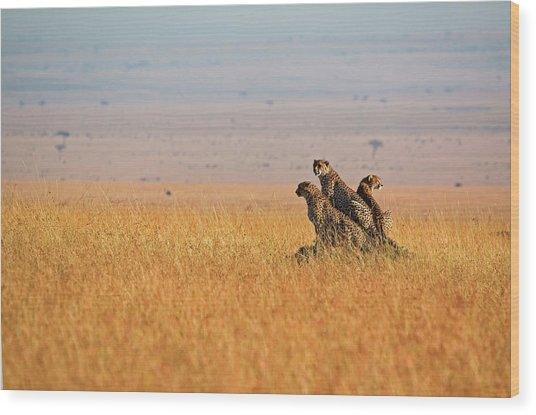 Three Cheetah In Open Plains Wood Print
