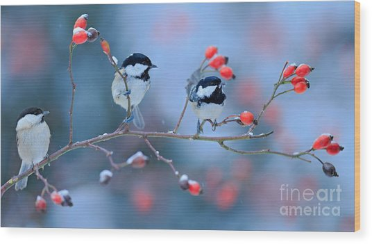 Three Songbirds, Great Tit And Coal Wood Print