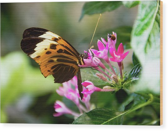 Tiger Longwing Butterfly Drinking Nectar  Wood Print
