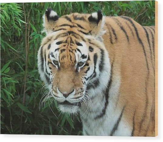 tigris tigris - Supporting World Wide Fund For Nature Wood Print