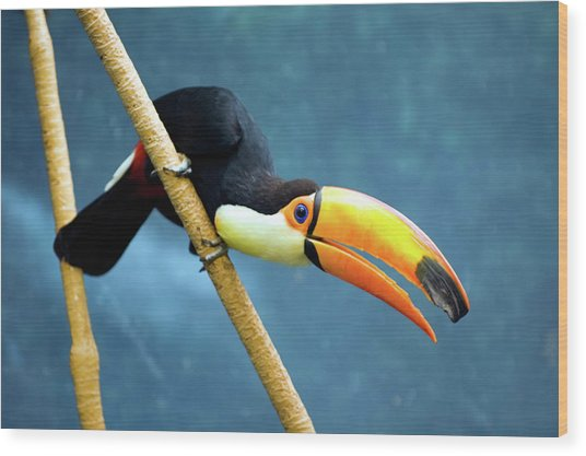 Toco Toucan Wood Print by By Ken Ilio