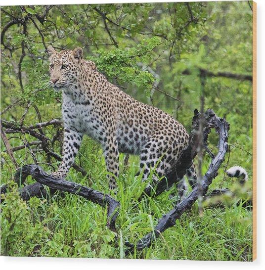 Tree Climbing Leopard Wood Print