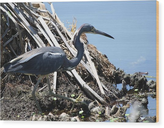 Tri-colored Heron 40312 Wood Print