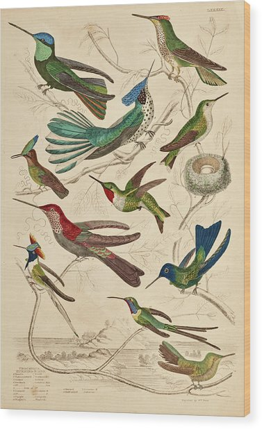 Trochilus - Hummingbirds Wood Print