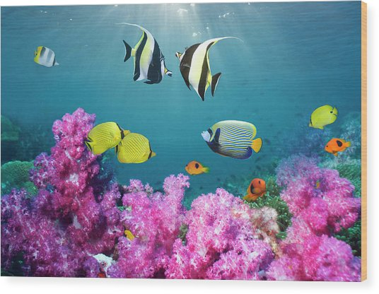 Tropical Reef Fish Over Soft Corals Wood Print by Georgette Douwma