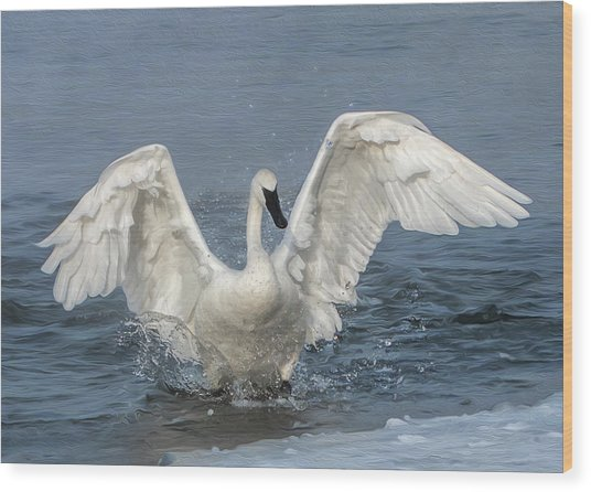 Trumpeter Swan Splash Wood Print