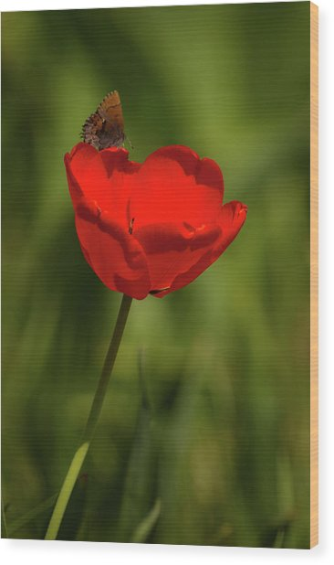Tulip And Skipper Wood Print