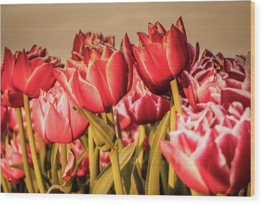 Wood Print featuring the photograph Tulip Fields by Anjo Ten Kate