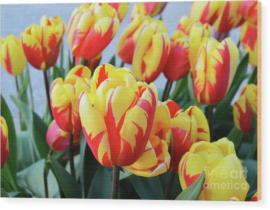 Tulips And Tiger Stripes Wood Print