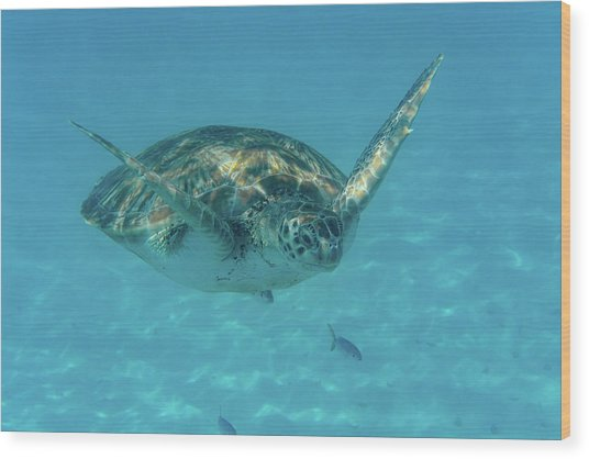 Turtle Approaching Wood Print