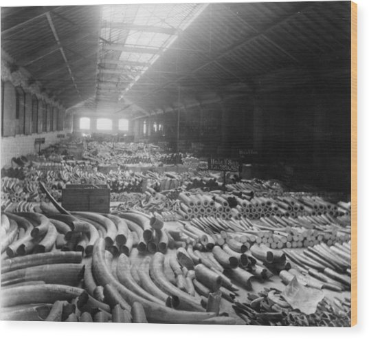 Tusk Warehouse Wood Print by Hulton Archive