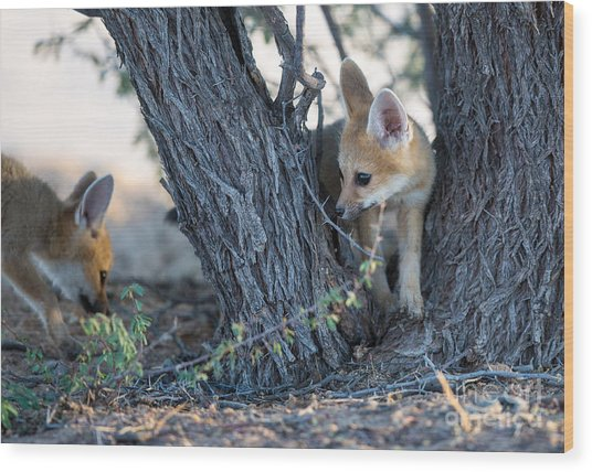 Two Cute Baby Cape Foxes Exploring Wood Print