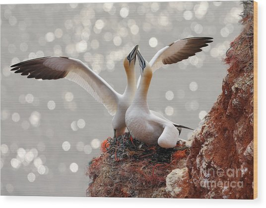 Two Gannets. Bird Landing On The Nest Wood Print